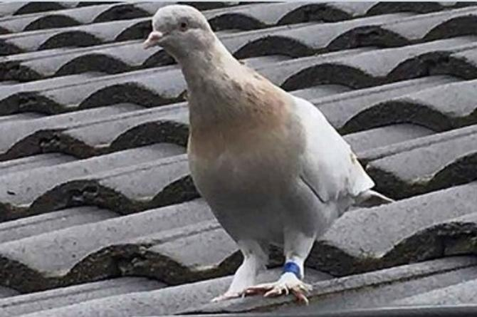 Australia quiere matar a paloma que llegó desde EU